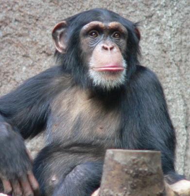 침팬지.jpg